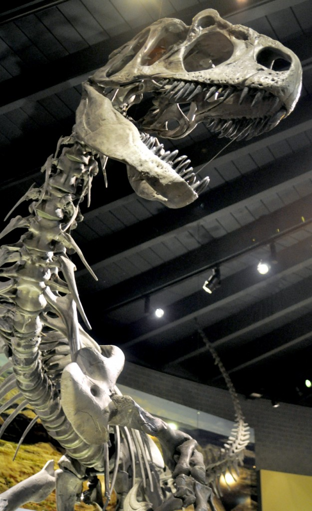 Allosaurus on display in the Hall of Life